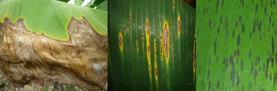 香蕉叶斑病的发生和防治 香蕉叶斑病是香蕉种植上普遍发生的病害,被认为是香蕉种植的一大杀手,在病害流行年份,叶片受害面积为20%~40%,严重时达80%以上,病株产量减少,果实品质下降,严重时减产50%以上。常见的有褐缘灰斑病、灰纹病叶斑和煤纹病叶斑病,其中褐缘灰斑病最为严重,细分上包括了黄条叶斑病光和黑条叶斑病。  三种叶斑病发生危害的位置和症状 香蕉叶斑病由病原真菌引起,在高温高湿的天气条件下易发生流行,病害发生的初侵染源多来自上一季香蕉留在田间的病原残体中越冬的子囊和孢子。湿热的雨季,尤其台风暴雨后,