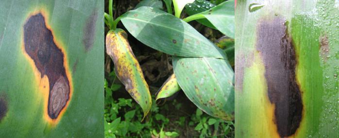 香蕉叶斑病的发生和防治