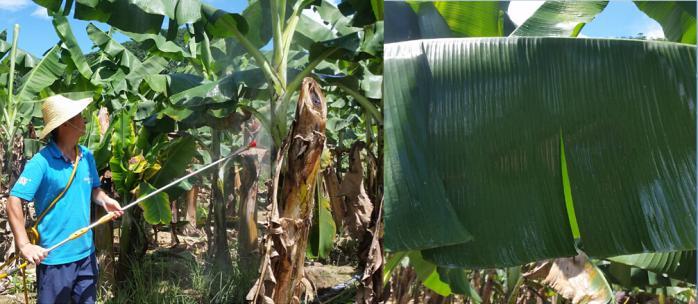 【默赛香蕉专区】香蕉叶斑病的发生和防治-美国默赛