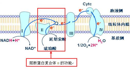 原菌线粒体呼吸电子传递链上的蛋白复合体   (即琥珀酸脱氢酶或琥珀
